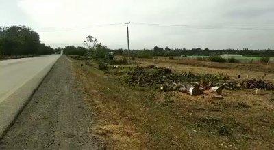 Quba şəhərinin Bakı istiqamətindən girişində yol qırağı qoz ağacları kəsilib - VİDEO